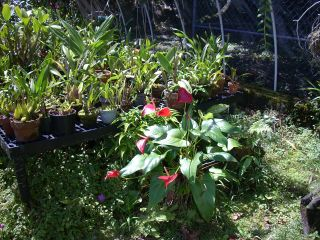 Orchid house with anthurium