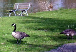 Blog goose