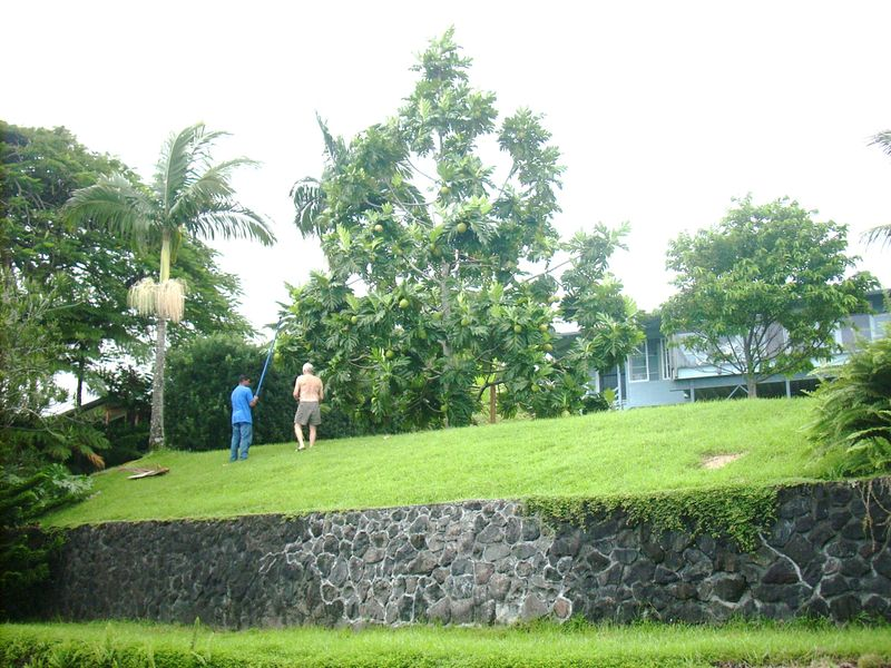 Breadfruit harvest