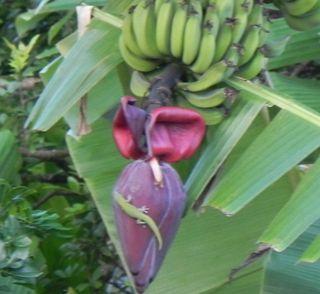 Banana lizard
