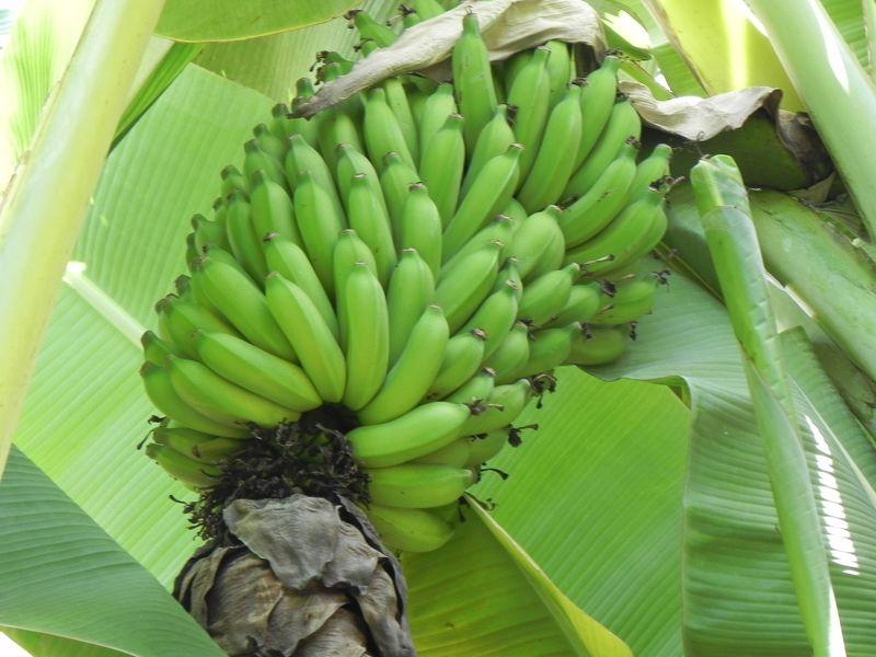 Bananas (2)