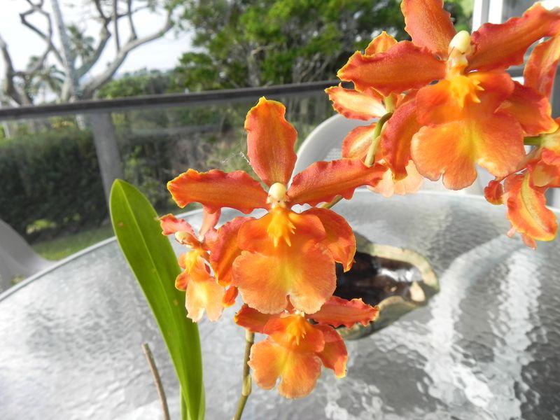 Orchid orange