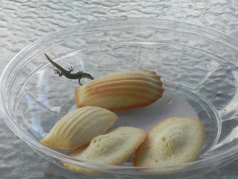 Gecko madeline