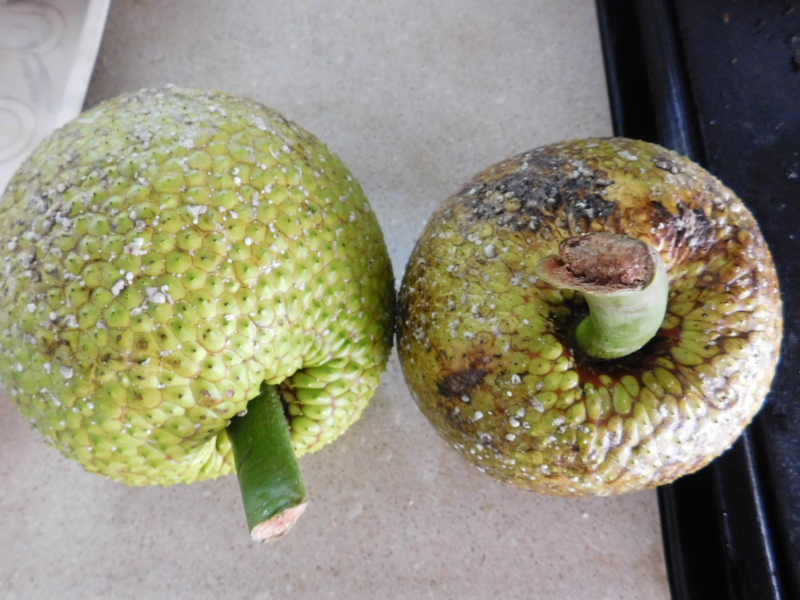 Breadfruit yuge