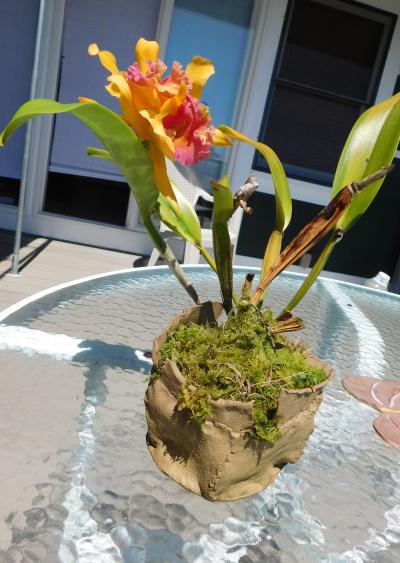Orchid catt pot