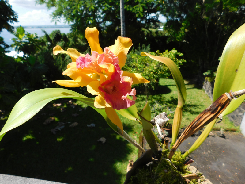 Orchid orange catt